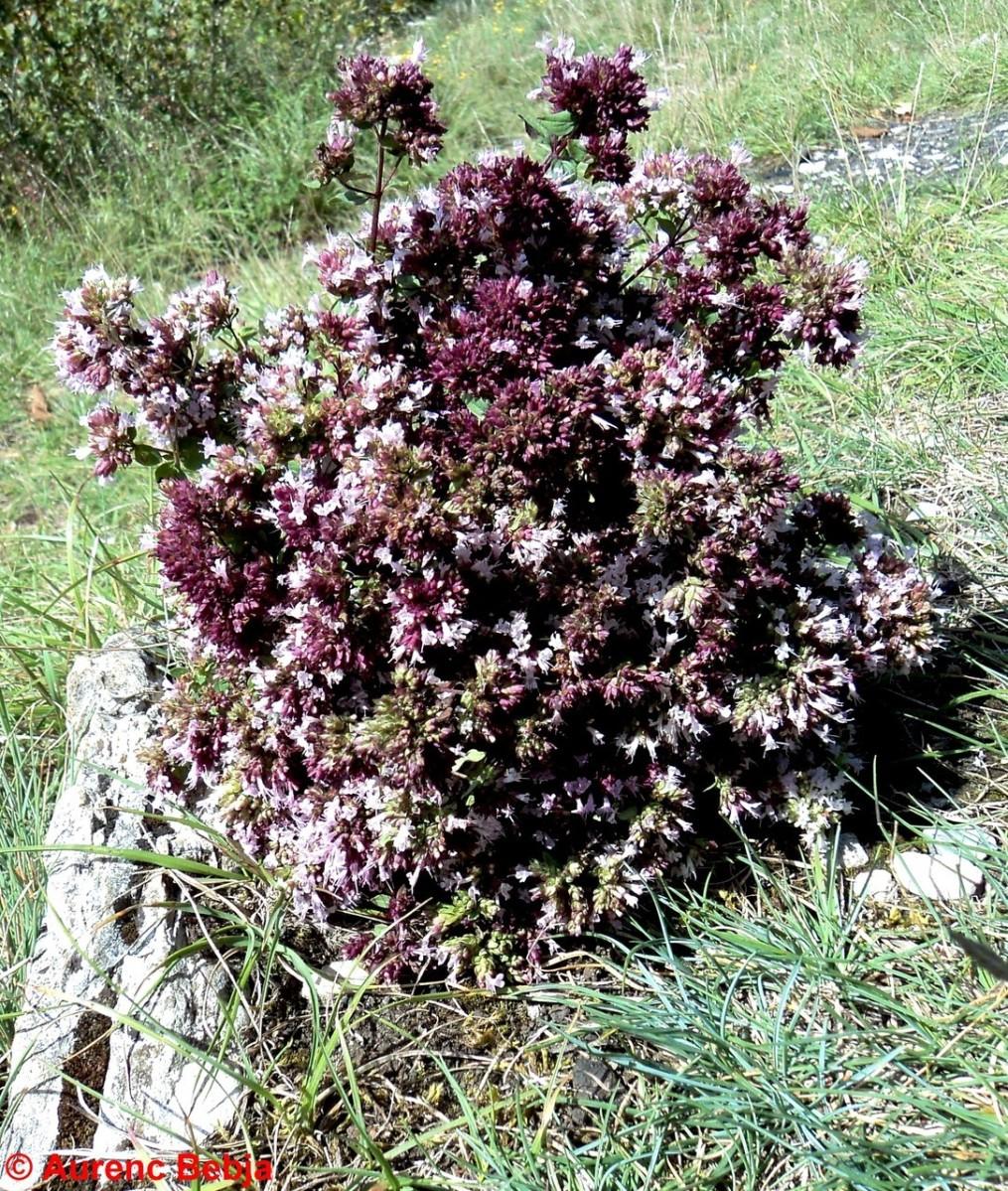Vlerat e jashtzakonshme te rigonit(çajit te malit,Oreganum vulgare)